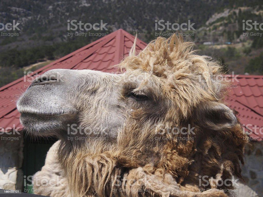 Portrait of Camel royalty-free stock photo