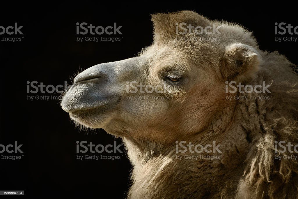 Portrait of Camel stock photo