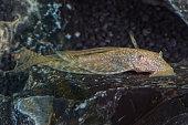 Portrait of catfish (Ancistrus sp.) in aquarium