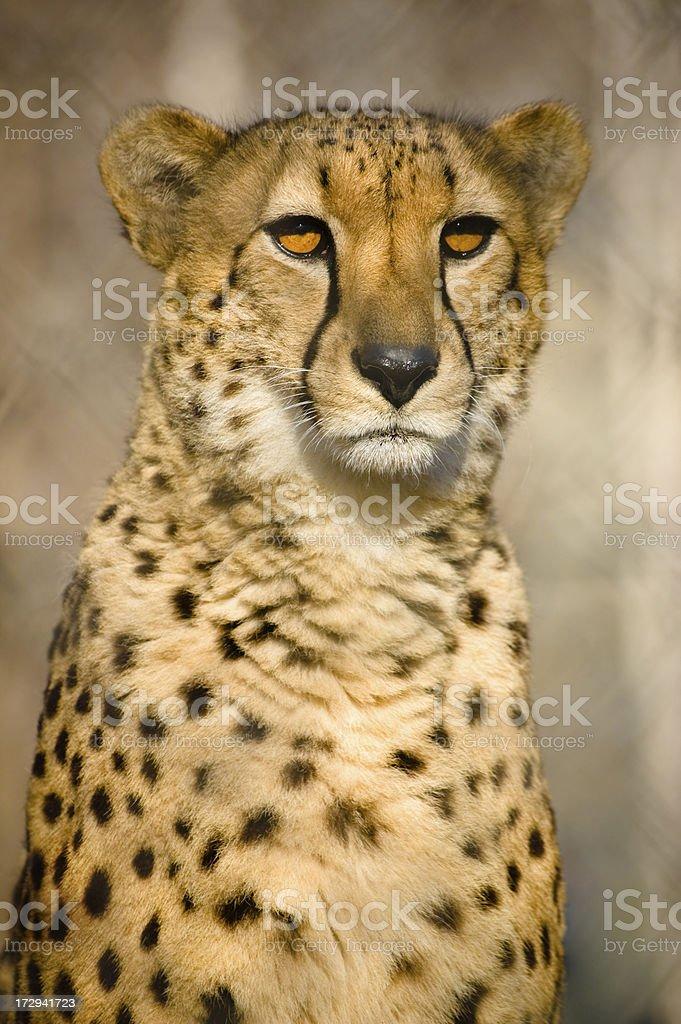 portrait of cheetah royalty-free stock photo