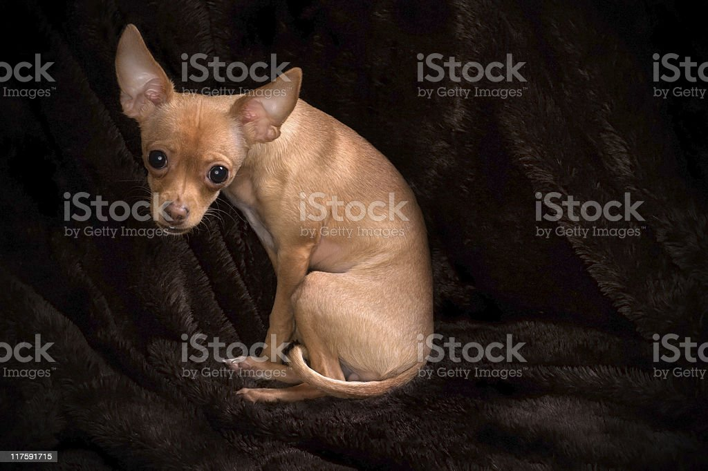 Portrait of Chihuahua royalty-free stock photo