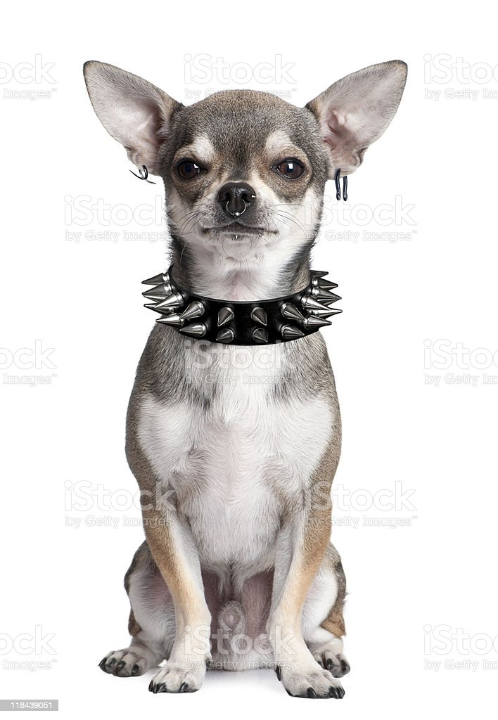 Portrait of Chihuahua with face piercings and spiked collar stock photo