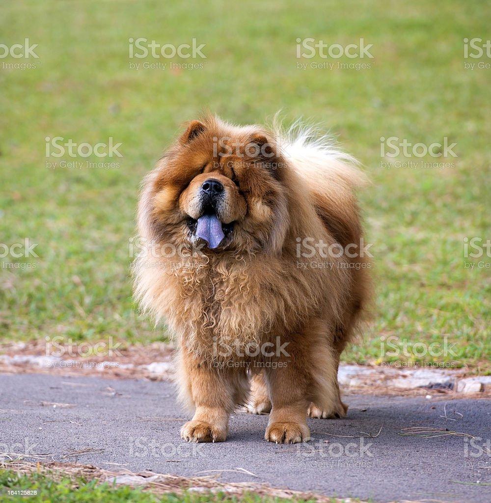 Portrait of Chow dog stock photo