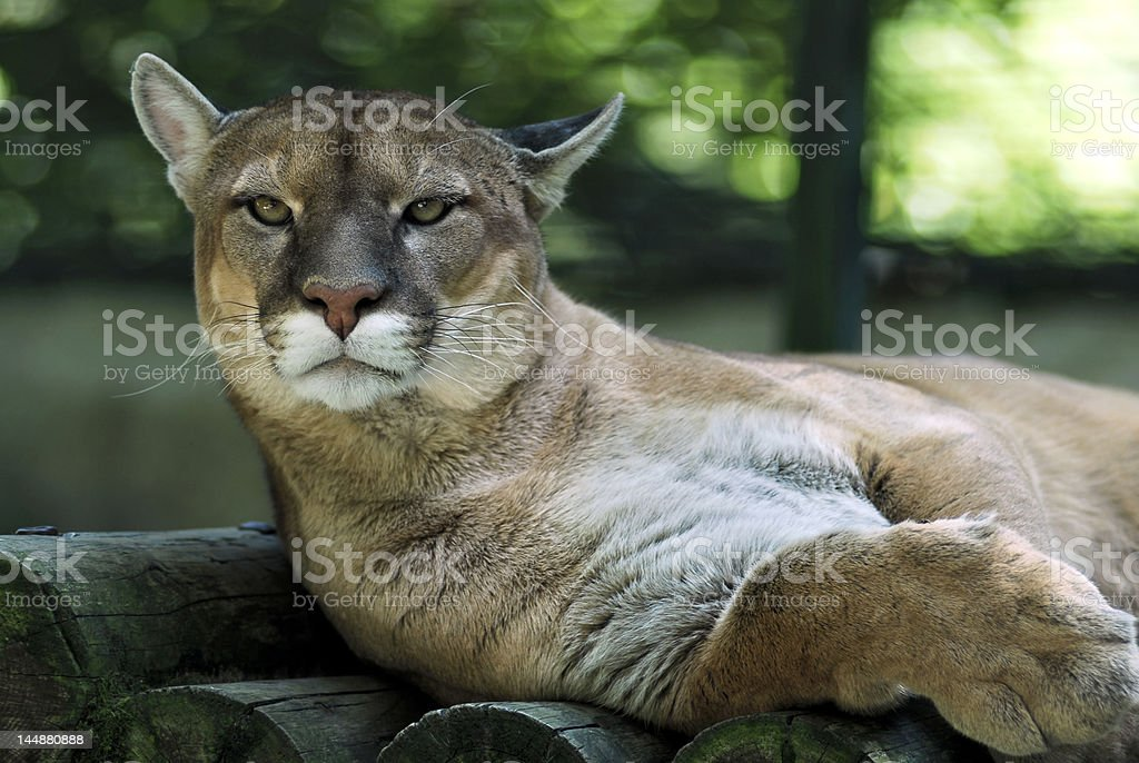 Portrait of cougar royalty-free stock photo