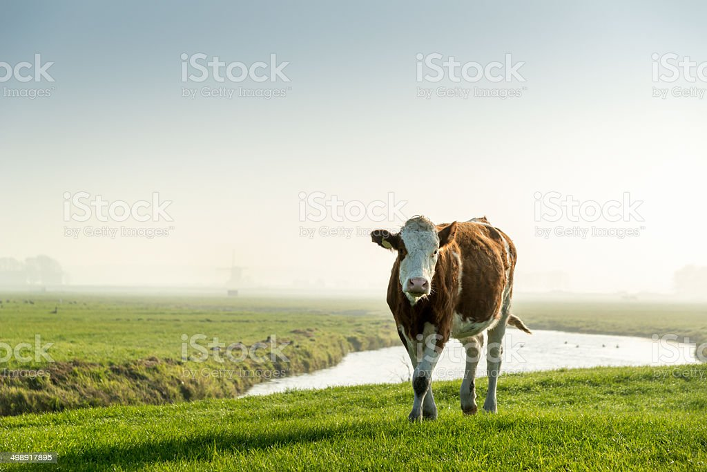 portrait of Cow in green meadow, early foggy morning stock photo