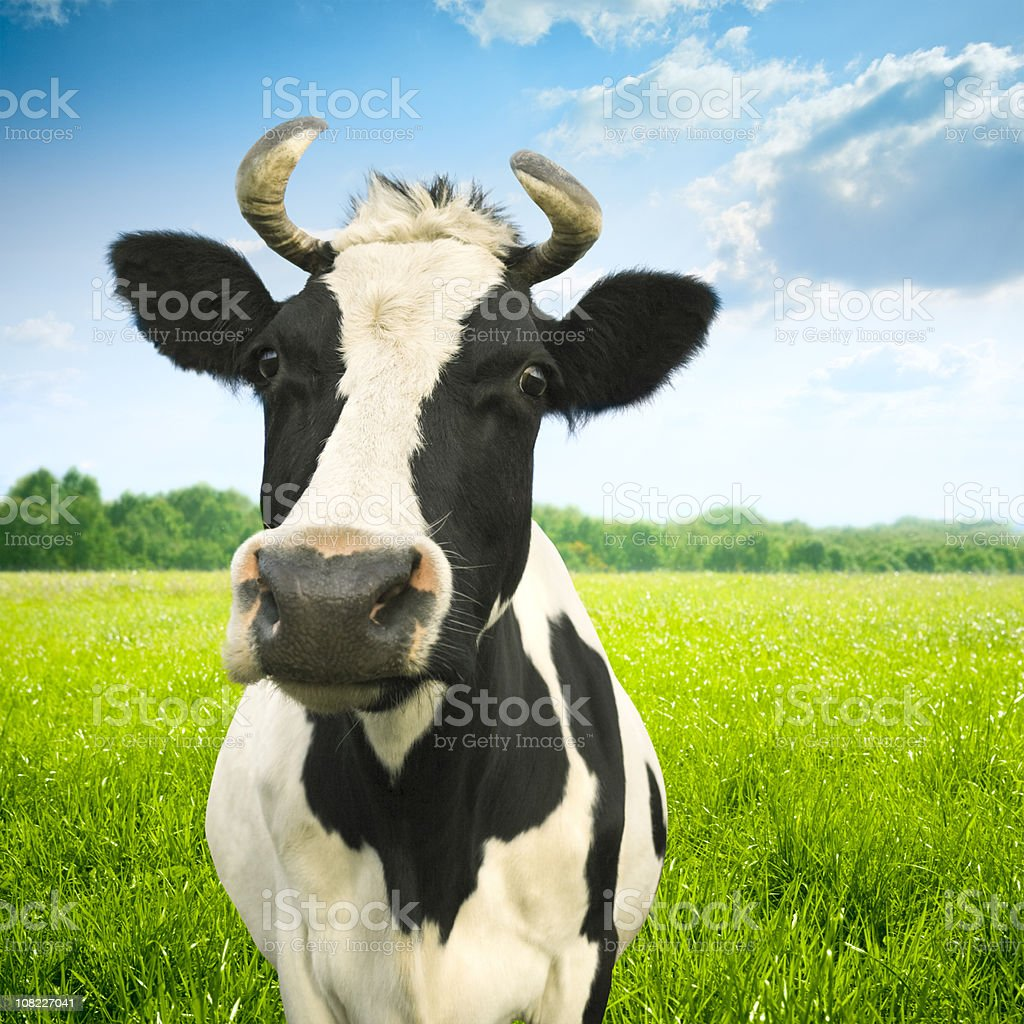 Portrait of cow on green idyllic pasture stock photo