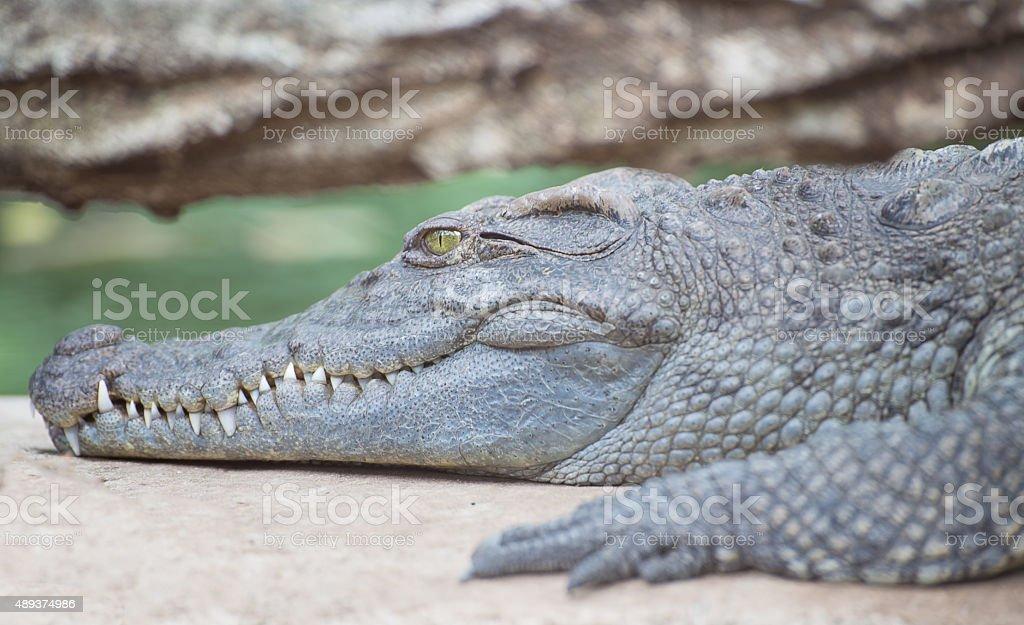Portrait of crocodile sunbathing during the day stock photo