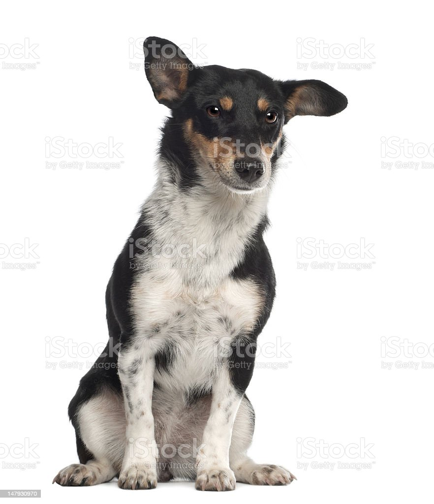 Portrait of crossbreed mixed with a Jack Russell Terrier stock photo