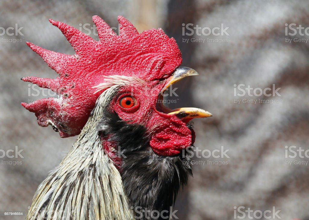 Portrait of crowing rooster stock photo