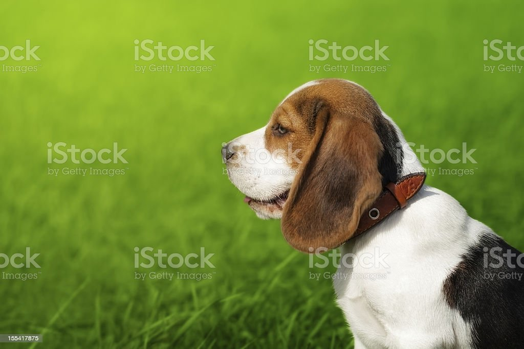 Portrait of cute beagle puppy royalty-free stock photo