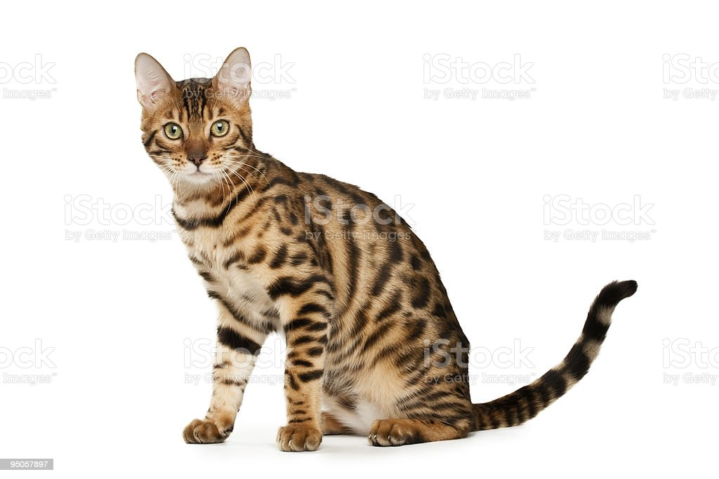 Portrait of cute Bengal cat with shocked facial expression royalty-free stock photo