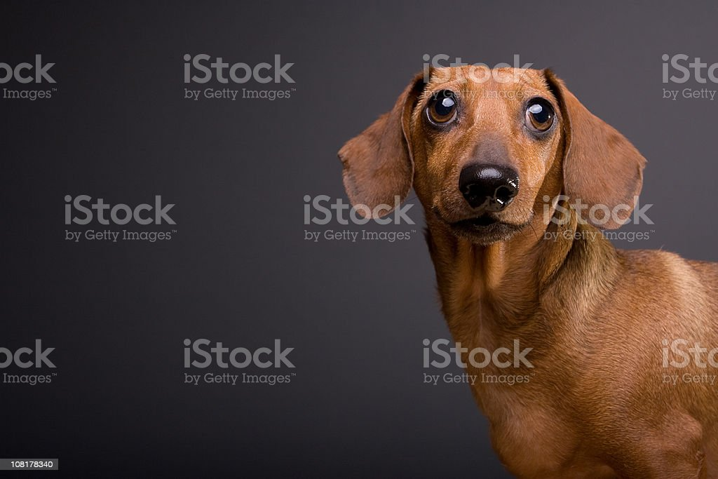 Portrait of Cute Dachshund Dog on Gray Background stock photo
