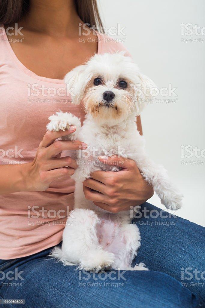 Portrait of cute female maltese sitting on lap stock photo