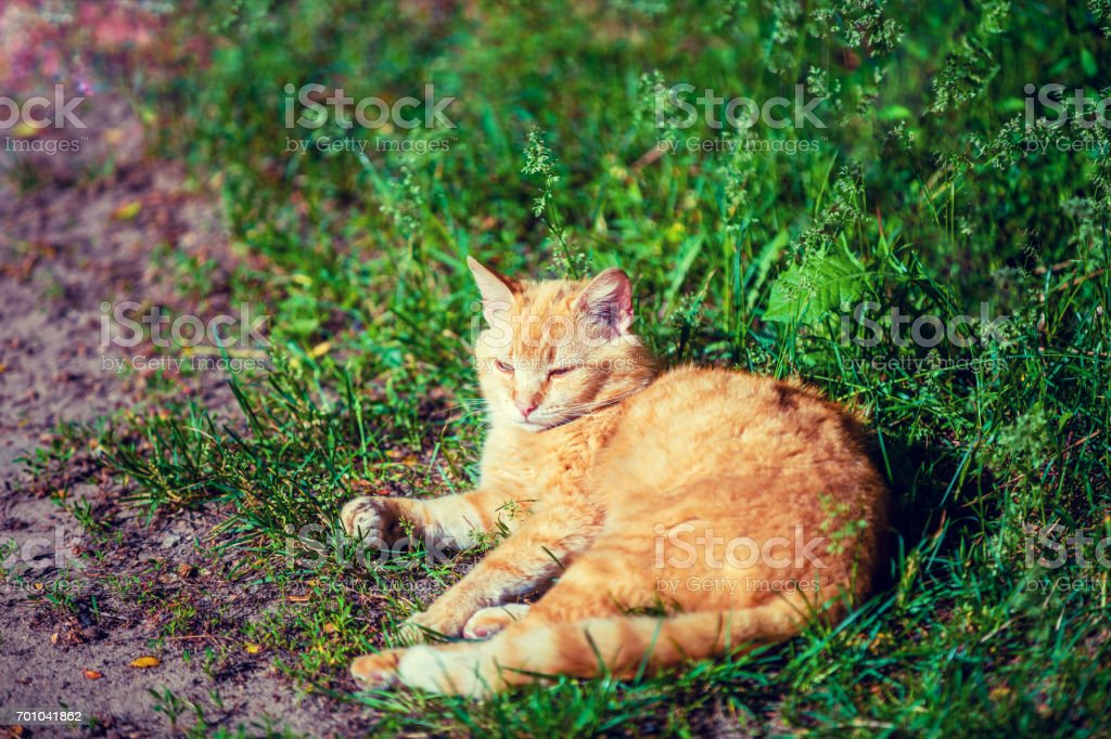 Portrait of cute red cat lying outdoor on the grass stock photo