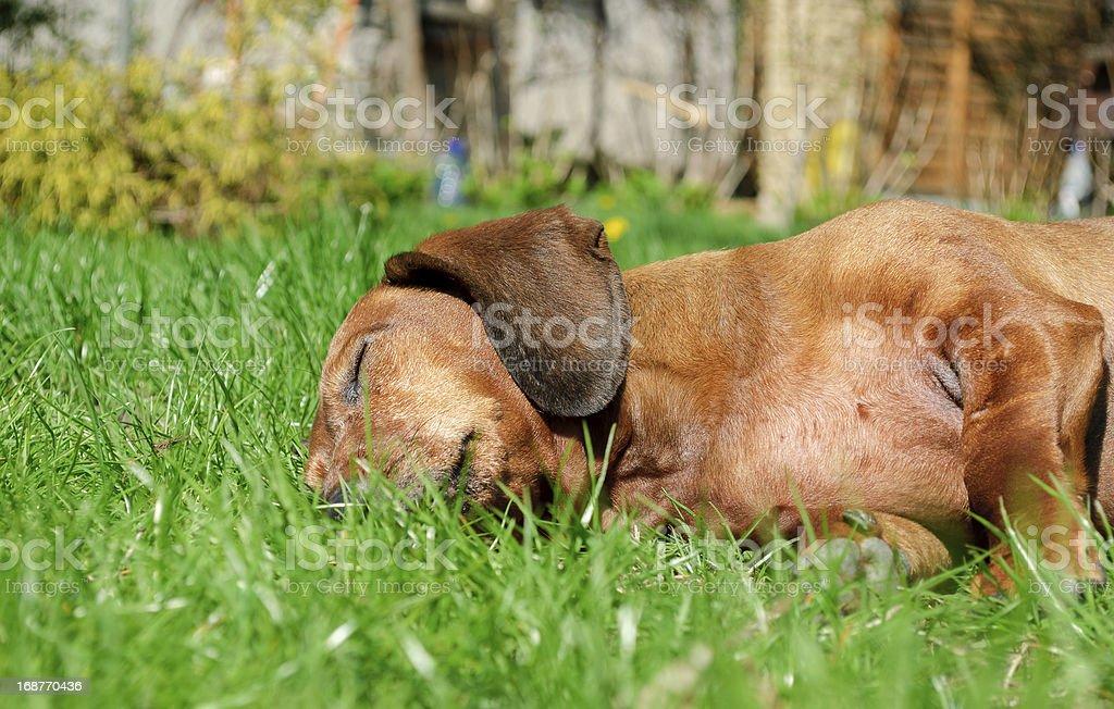 Portrait of dachshund royalty-free stock photo