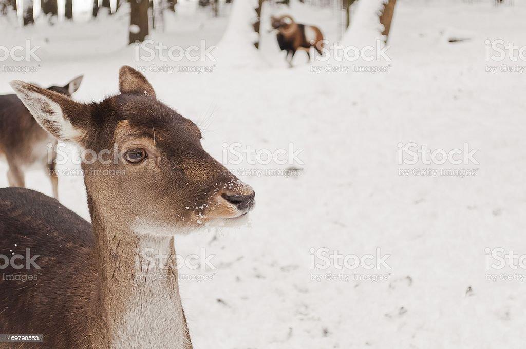 Portret jelenia w zimie zbiór zdjęć royalty-free