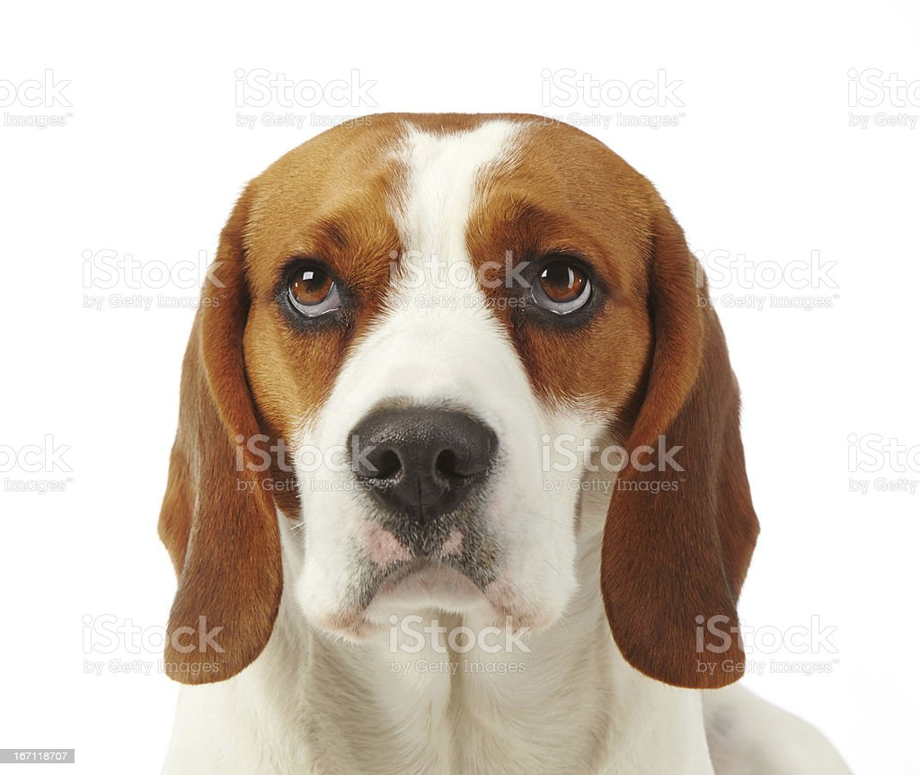 Portrait of dog beagle royalty-free stock photo