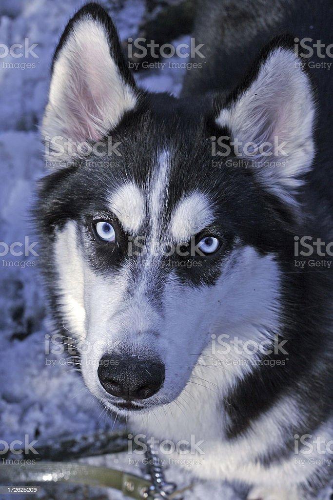 portrait of dog husky royalty-free stock photo