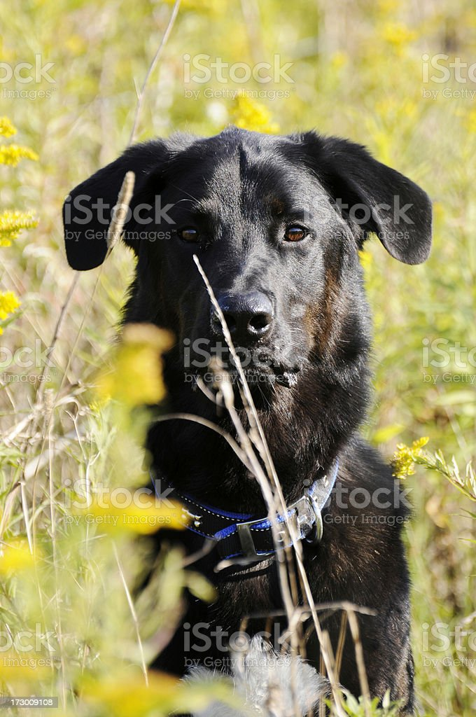 Portrait of Dog in Tall Grass stock photo