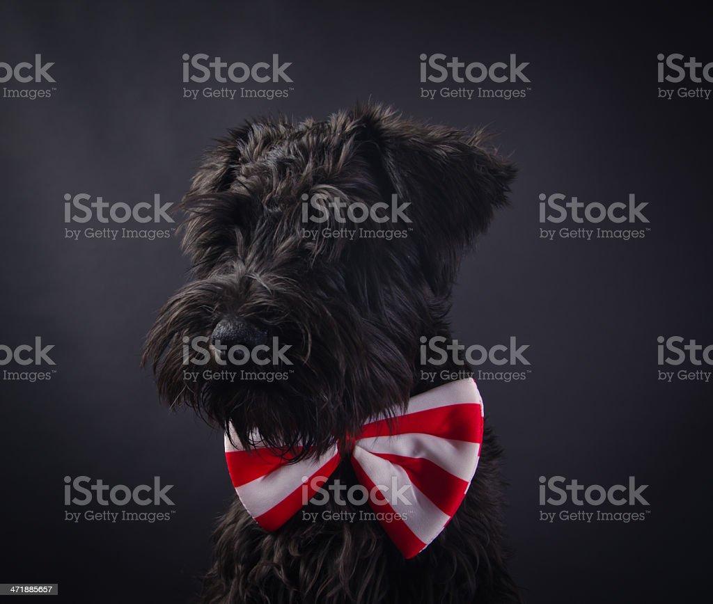 Portrait of Dog Schnauzer stock photo