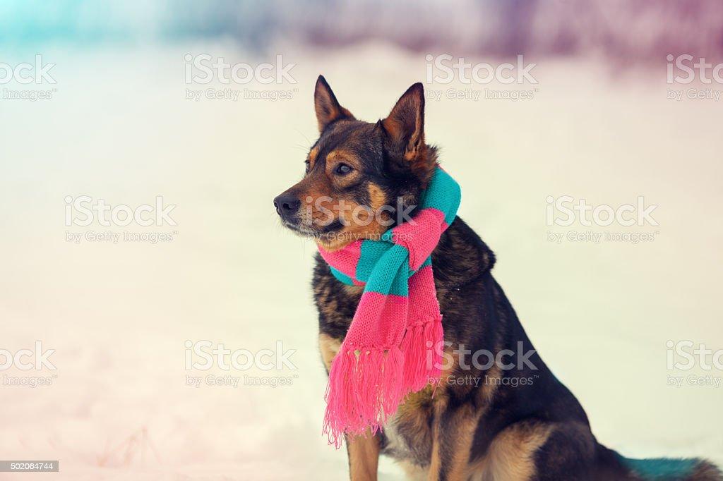 Portrait of dog wearing scarf walking outdoor in winter stock photo