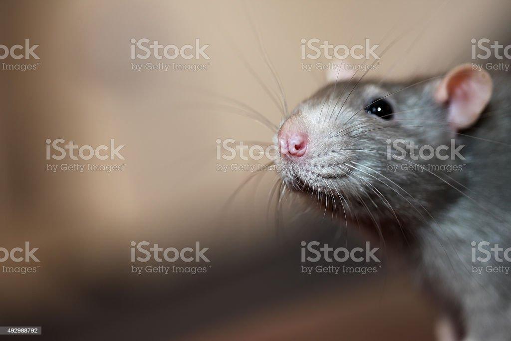 Portrait of domestic rat stock photo