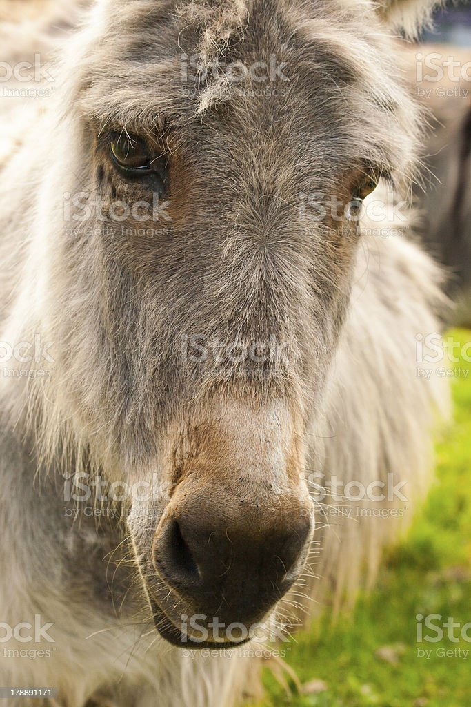 Portrait of donkey in a Field on sunny day royalty-free stock photo