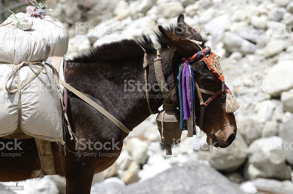 Portrait of donkey with heavy load, Nepal ,Asia royalty-free stock photo