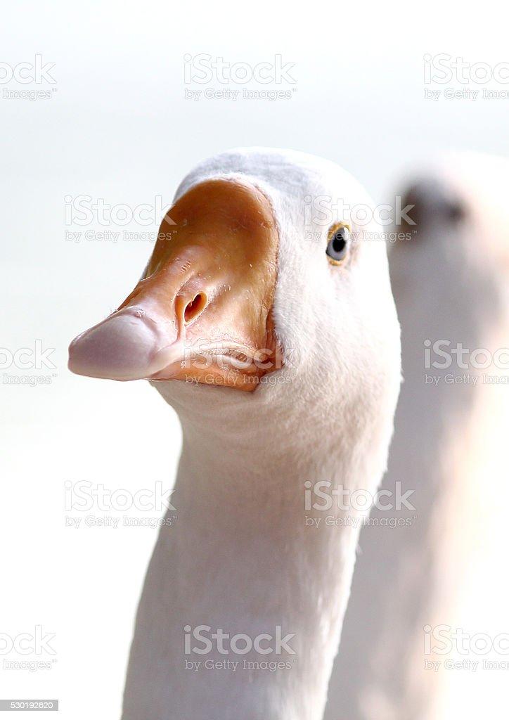 portrait of duck stock photo