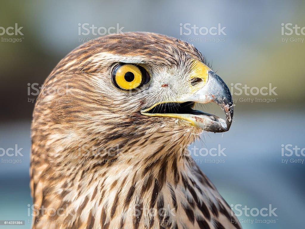 Portrait of eagle stock photo