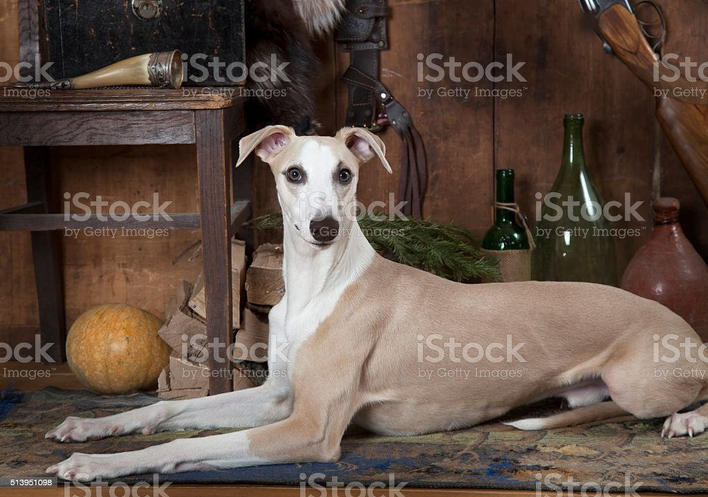 Portrait of eight months old Whippet dog stock photo