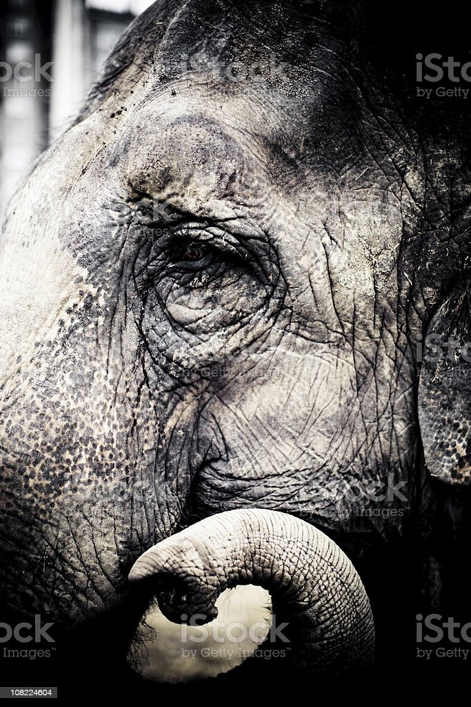 Portrait of Elephant's Head, Side View royalty-free stock photo