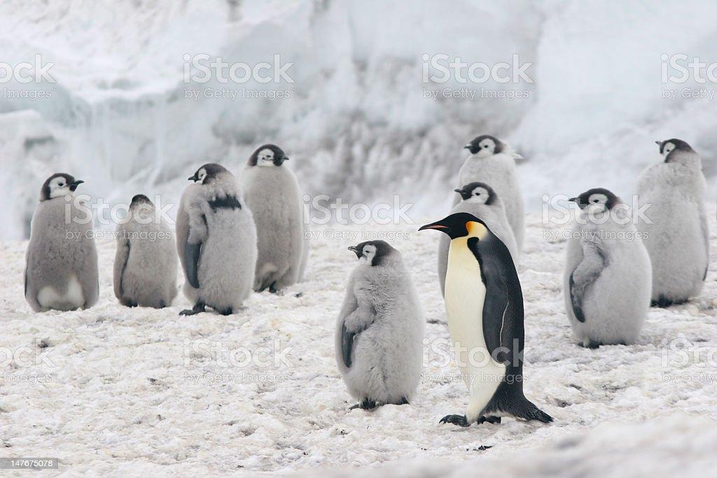 Portrait of Emperor Penguins in their natural habitat stock photo