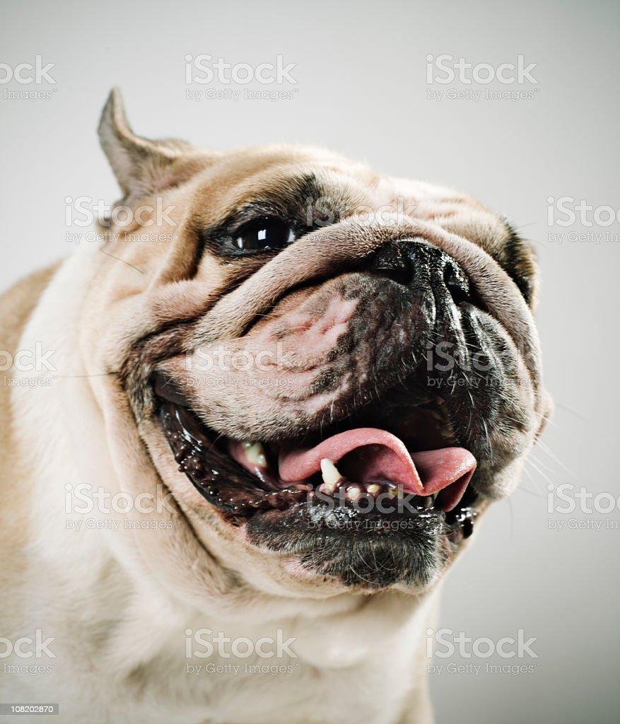 Portrait of English Bulldog stock photo