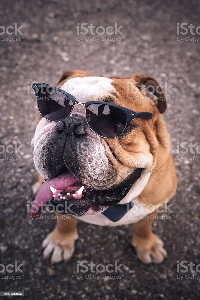 Portrait-of-english-bulldog-picture-id589130590?k=6&m=589130590&s=170667a&w=0&h=i-ozrymxnilgtb9bajqwkxnw19nunewzmvttpd9udzq=