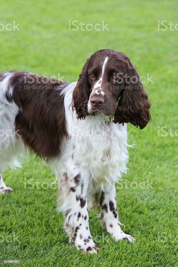 Portrait of English Springer Spaniel stock photo