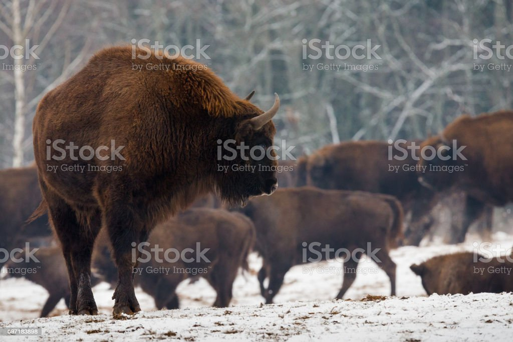 Portrait Of European Bison (Aurochs) In Wild Nature.Powerful Adult European Bison Close-Up On The Background Of The Herd In Winter Time. One Large Brown Bison With Big Horns  Snanding On Winter Fiel stock photo