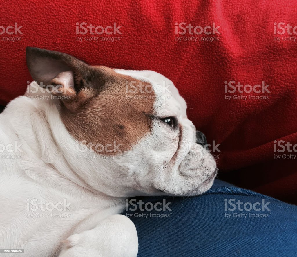 portrait of female bulldog resting on soft textiles stock photo