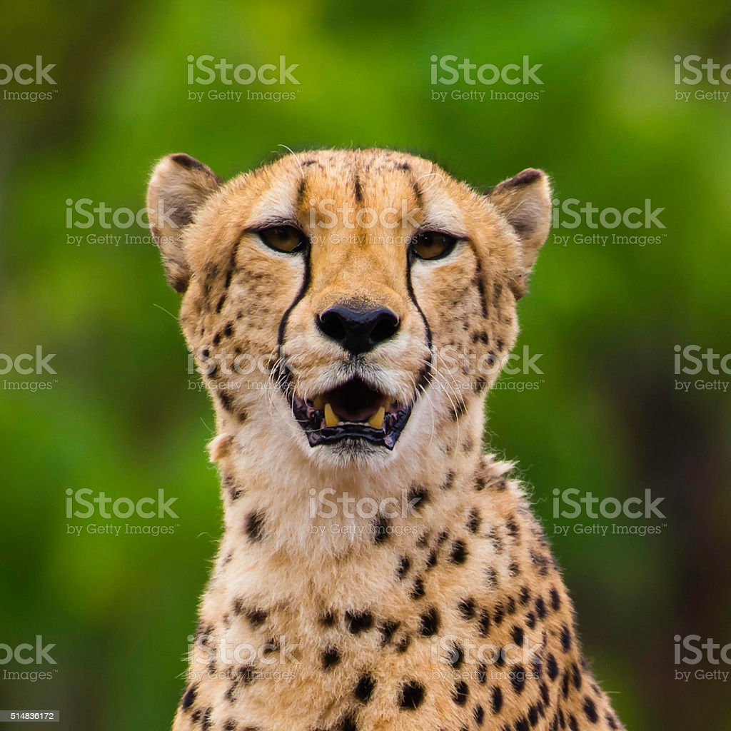 Portrait of Female Cheetah looking at camera stock photo