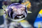 Portrait of fishes Cyclichthys orbicularis in the aquarium