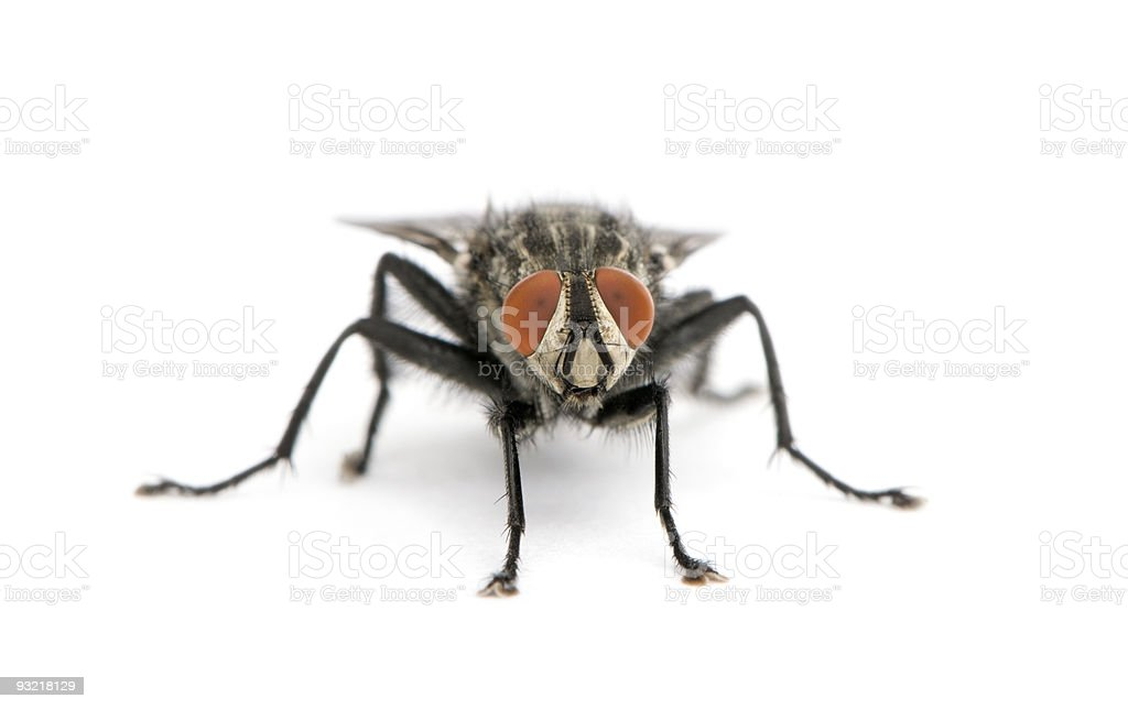 Portrait of flesh fly against white background stock photo