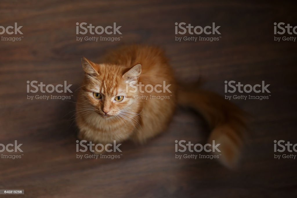 portrait of fluffy ginger cat with a big white mustache stock photo