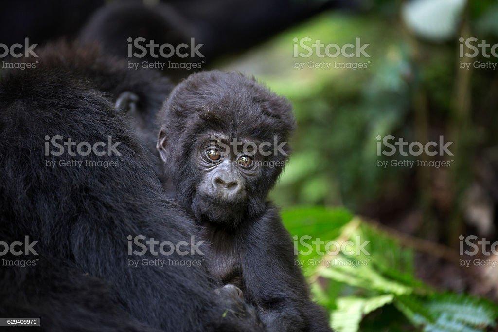 Portrait of free baby mountain gorilla stock photo