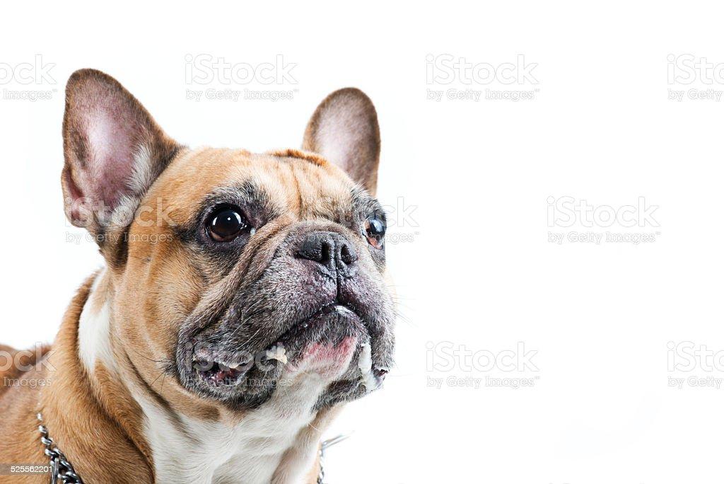 Portrait of French Buldog stock photo