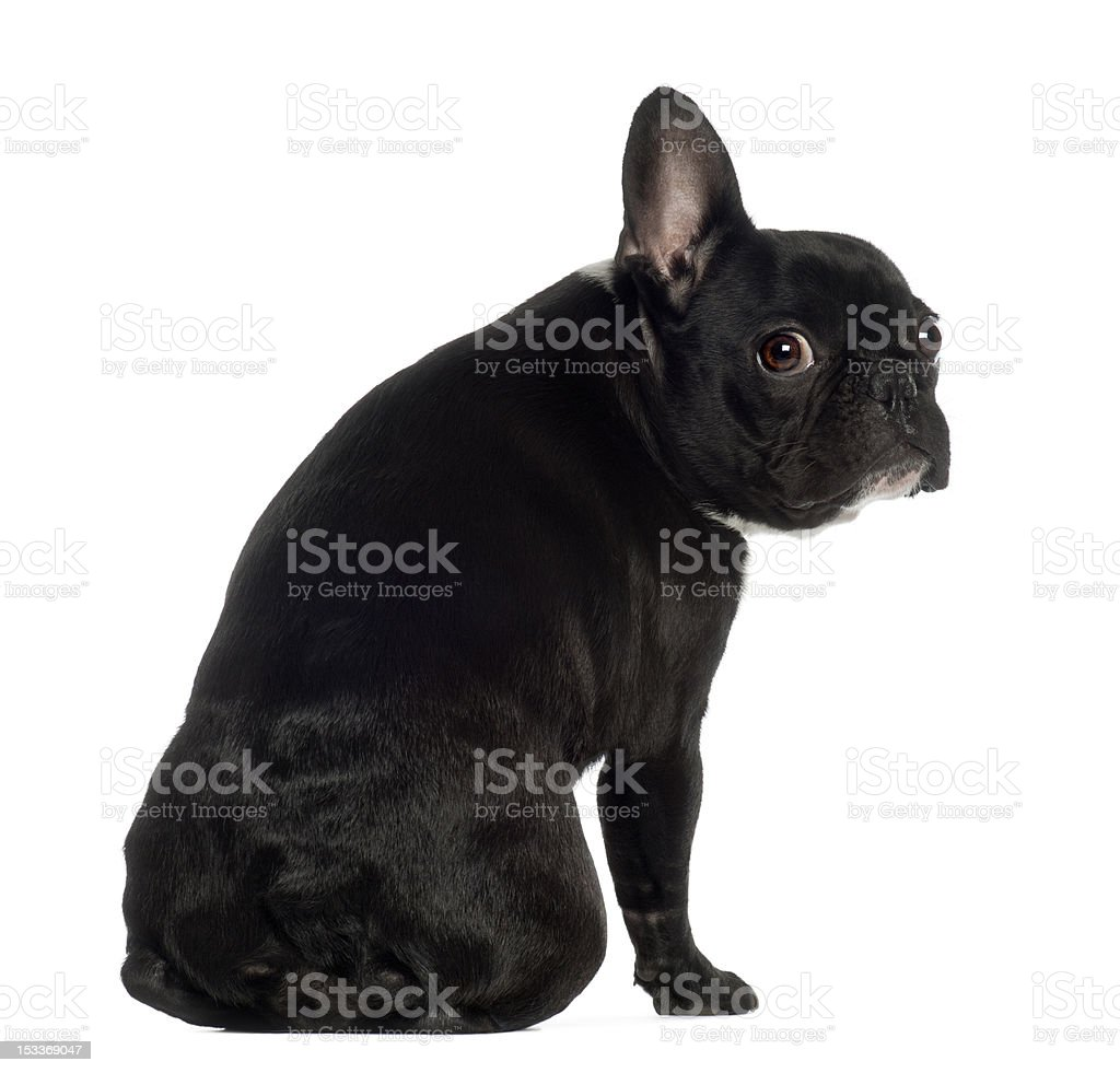 Portrait of French Bulldog, 13 months old, sitting royalty-free stock photo