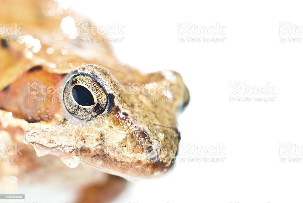 Portrait of frog royalty-free stock photo
