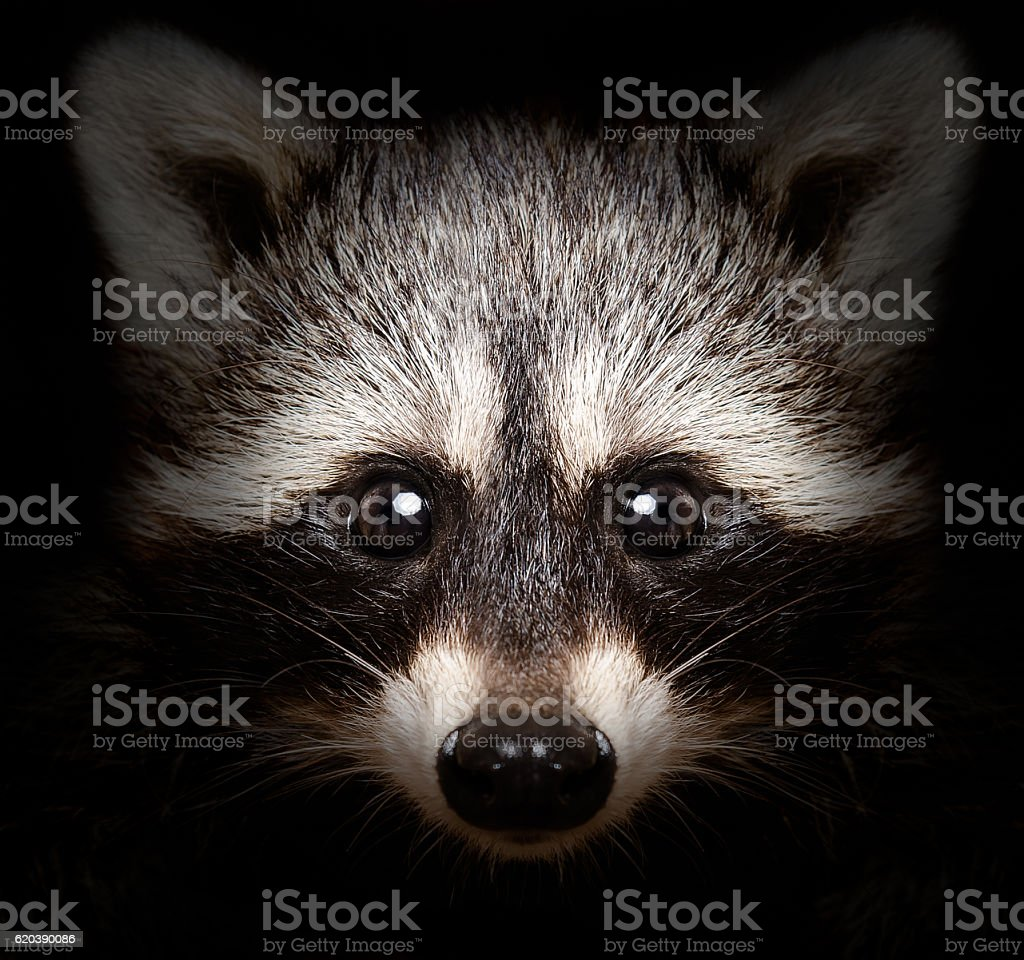 portrait of funny raccoon stock photo