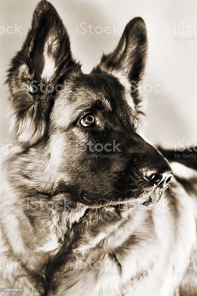 Portrait of German Shepard Dog, Sepia Toned royalty-free stock photo
