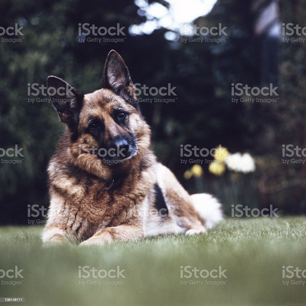 Portrait of German Shepard Dog Sitting in Grass stock photo