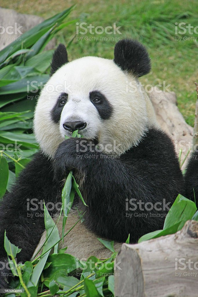 Portrait of giant panda bear (Ailuropoda Melanoleuca) eating bamboo, China royalty-free stock photo